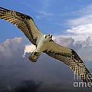 Osprey In Flight Art Print