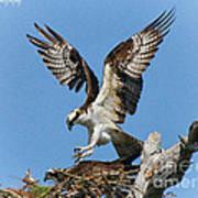 Osprey Mating Art Print