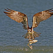 Osprey Morning Catch Art Print