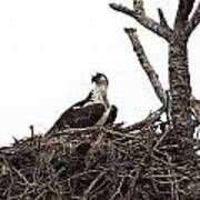Osprey On A Nest In The Everglades Art Print