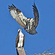 Osprey Pair Love In The Air Art Print