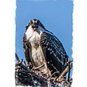 Osprey Surprise Party Card Art Print