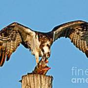 Osprey With Spotted Bass Art Print