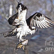 Osprey With Walleye Fish Art Print