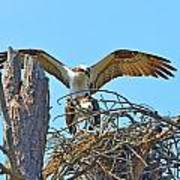Ospreys Copulating In New Nest2 Art Print