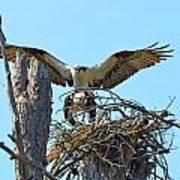 Ospreys Copulating In New Nest3 Art Print