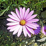 Osteospermum - African Daisy - Pink Art Print