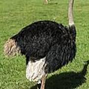 Ostrich 1 Art Print