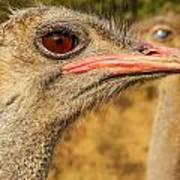 Ostrich Closeup Art Print by Jess Kraft