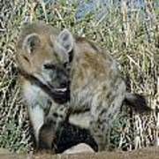 Out Of Africa  Hyena 2 Art Print