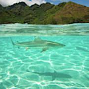 Over Under, Half Water Half Land, Shark Art Print