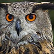 Owl Bubo Bubo Portrait Art Print