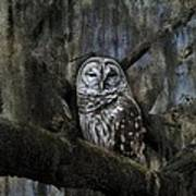 Owl In Spanish Moss Photograph By Eagle Finegan