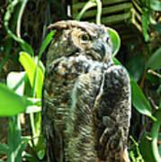 Owl Portrait 2 Art Print