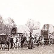 Ox-driven Wagon Freight Train C. 1887 Art Print by Daniel Hagerman