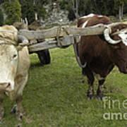 Oxen Art Print