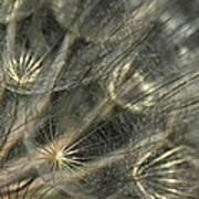 Oyster Flower Seed Head Art Print