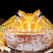 Pac Man Frog Ceratophrys On A Rock Art Print