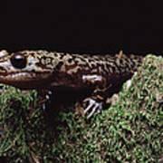 Pacific Giant Salamander On Mossy Rock Art Print