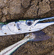 Pacific Needlefish Art Print by Aged Pixel
