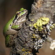 Pacific Treefrog Art Print