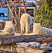 Pack Of Arctic Wolves Watching A Polar Bear Movie Art Print