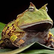 Pacman Frog  Art Print by Dirk Ercken