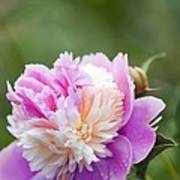 Paeonia Lactiflora 'raspberry Sundae' Art Print