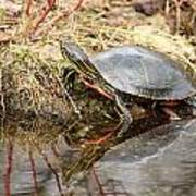 Painted Turtle Climbing Onto Shore Art Print