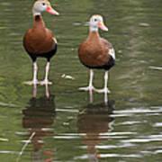 Pair Black-bellied Whistling-ducks Art Print