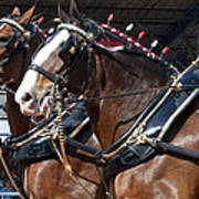 Pair Of Budweiser Clydesdale Horses In Harness Usa Rodeo Art Print