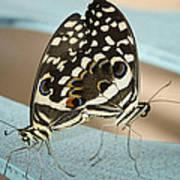 Pair Of Citrus Swallowtail Butterflies  Art Print