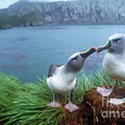 Pair Of Grey-headed Albatross Art Print