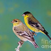 Pair Of Lesser Goldfinches Art Print