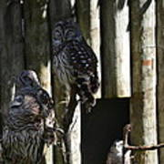 Pair Of Owls Art Print