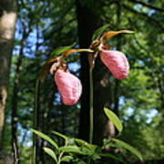 Pair Of Pink Lady Slippers  Art Print