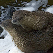 Pair Of River Otters   #1266 Art Print