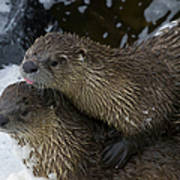 Pair Of River Otters   #1301 Art Print