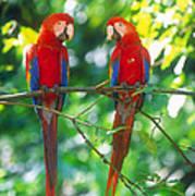 Pair Of Scarlet Macaws Art Print