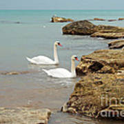 Pair Of Swans. Art Print