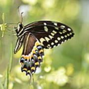 Palamedes Swallowtail 2 Art Print