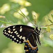 Palamedes Swallowtail Art Print