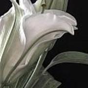 Pale Lily Art Print