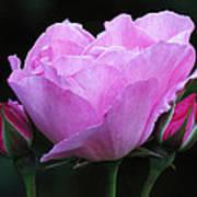 Pale Pink Rose Art Print