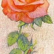 Pale Rose Print by George Adamson