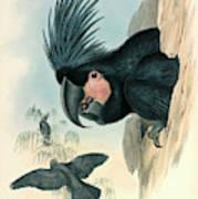 Palm Cockatoo Art Print