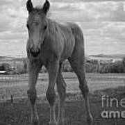 Palomino In Black And White Art Print