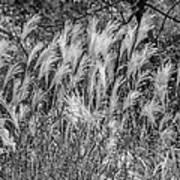 Pampas Grass Monochrome Art Print