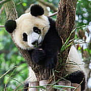 Panda Cub Resting On Tree Art Print