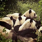 Pandamonium Print by Joan Carroll